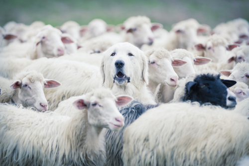 Shepherd dog popping his head up from a sheep flock. Uniqueness andor lost in the crowd concept